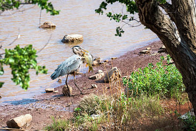 Animals Royalty-Free and Rights-Managed Images - Heron With Its Feast by Debra Martz