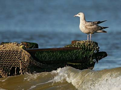 Lori A Cash Royalty-Free and Rights-Managed Images - Herring Gull on Ocean Jetty by Lori A Cash