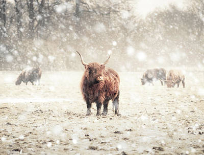 Photograph - Highland Cattle by Andrew George Photography