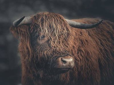 Photograph - Highland Cow Portrait  by Andrew George Photography