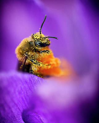 Royalty-Free and Rights-Managed Images - Honeybee Pollinating Crocus Flower by Adam Romanowicz