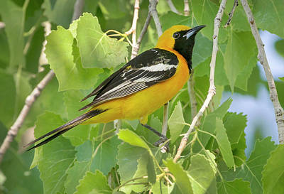 Granger - Hooded Oriole in treetops by Randall Roberts