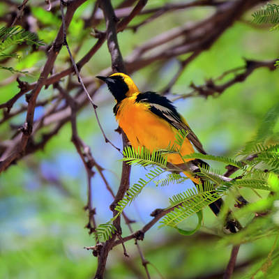 Mark Myhaver Photo Rights Managed Images - Hooded Oriole s115146 Royalty-Free Image by Mark Myhaver
