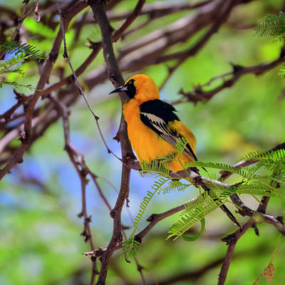 Mark Myhaver Photo Rights Managed Images - Hooded Oriole s115158 Royalty-Free Image by Mark Myhaver