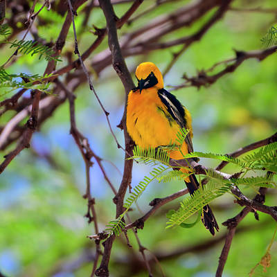 Mark Myhaver Photo Rights Managed Images - Hooded Oriole s115200 Royalty-Free Image by Mark Myhaver