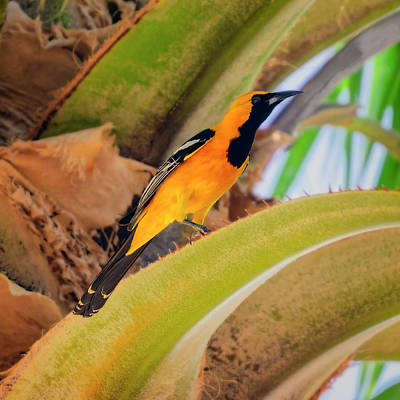 Mark Myhaver Photo Rights Managed Images - Hooded Oriole s132419 Royalty-Free Image by Mark Myhaver