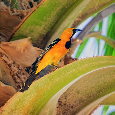 Mark Myhaver Photo Rights Managed Images - Hooded Oriole s132420 Royalty-Free Image by Mark Myhaver