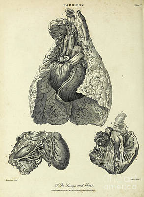 Animals Drawings - Horses lungs and heart k1 by Historic illustrations