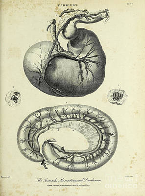 Animals Drawings - Horses Stomach, Mesentery and Duodenum k1 by Historic illustrations