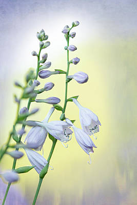 Photograph - Hosta by Bets Wilson