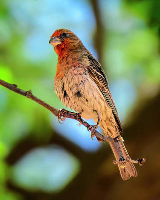 Mark Myhaver Rights Managed Images - House Finch v2025 Royalty-Free Image by Mark Myhaver