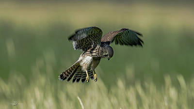 Photograph - Hovering Young Kestrel by Torbjorn Swenelius