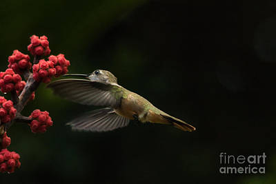 Photograph - Humming Bird Motion by Montez Kerr