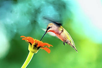 Birds Rights Managed Images - Hummingbird and zinnia with sun glare Royalty-Free Image by Geraldine Scull