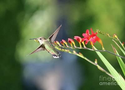 Rose - Hummingbird at Crocosmia 3 by Carol Groenen