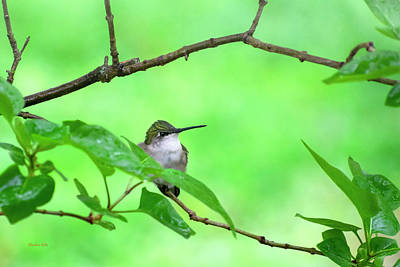 Royalty-Free and Rights-Managed Images - Hummingbird Green by Christina Rollo