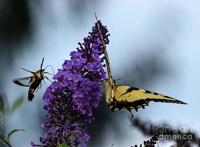 Lovely Lavender - Hummingbird Moth And The Eastern Tiger Swallowtail by Cindy Treger