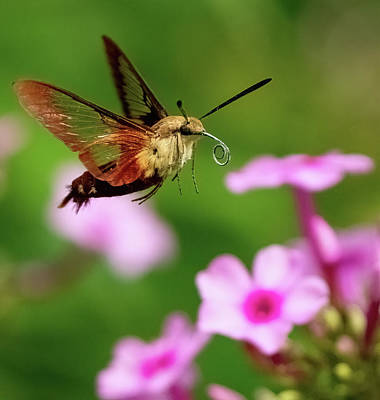 Farm Life Paintings Rob Moline Royalty Free Images - Hummingbird Moth Royalty-Free Image by William Jobes