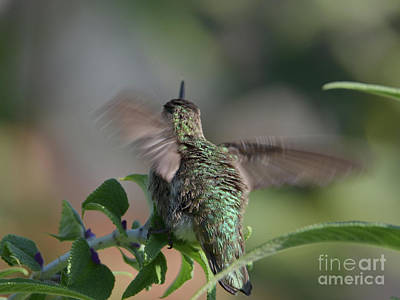 Classic Golf - Hummingbird Motion on Lavender by Debby Pueschel