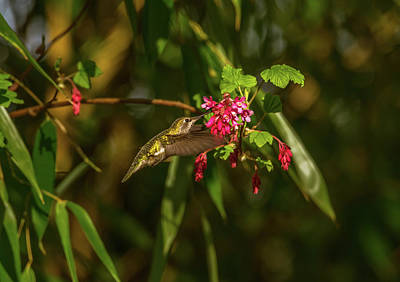Staff Picks Judy Bernier Rights Managed Images - Hummingbird on Last Day of Winter Royalty-Free Image by Marv Vandehey