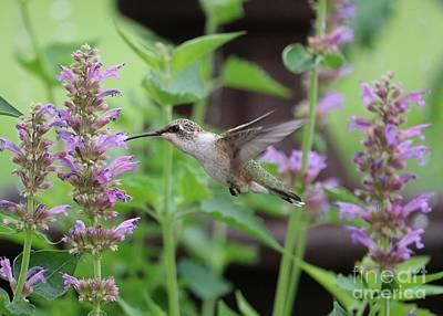 Unicorn Dust - Hummingbird with Lovely Agastache by Carol Groenen
