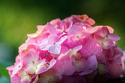 Red Roses - Hydrangea by Allin Sorenson
