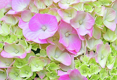 Lovely Lavender - Hydrangea Blossom Pink and  Green by Regina Geoghan
