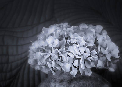 Route 66 Royalty Free Images - Hydrangea in Gray Royalty-Free Image by David Beard