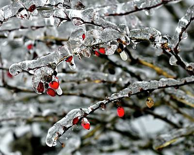 Jerry Sodorff Royalty-Free and Rights-Managed Images - Ice On Limbs and Red Berries by Jerry Sodorff