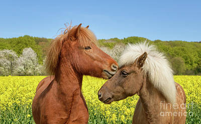 Photograph - Icelandic Horses Cuddle in a Spring Meadow by Katho Menden