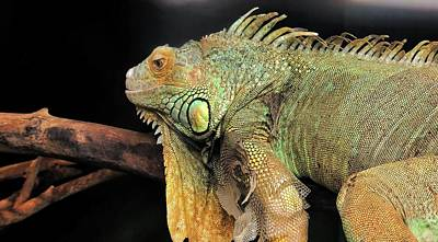Unicorn Dust - Iguana in Deep Thought  by Ally White