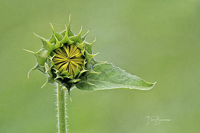 Dan Beauvais Royalty-Free and Rights-Managed Images - Immature Sunflower Blossom 7296 by Dan Beauvais