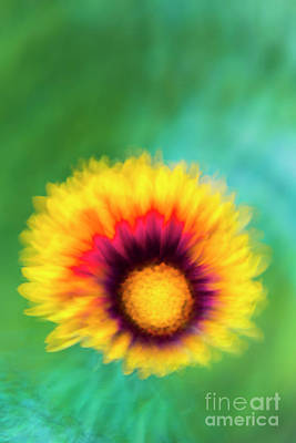 Photograph - Impression of Sunflower by Ranjay Mitra