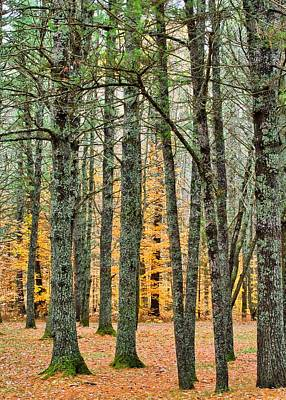 Photograph - In the Pines by Mark Bear