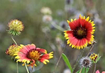 The Bunsen Burner - Indian Blanket Flowers and Buds  by Warren Thompson
