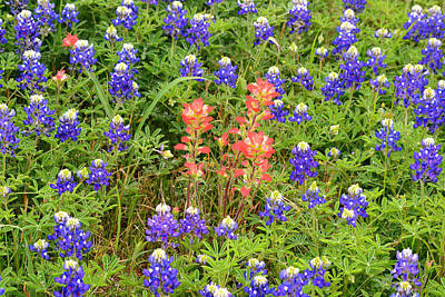Farmhouse - Indian Paintbrush Popping Up with Texas Bluebonnets by Gaby Ethington