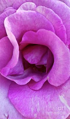 Lovely Lavender - Inside Angel Face by Julieanne Case