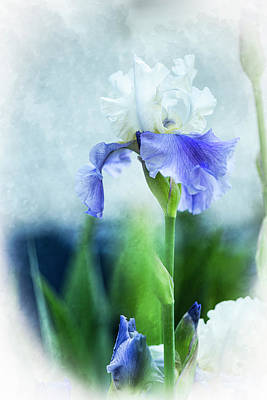 Just Desserts - Iris-Blue and White Iris by Judy Wolinsky