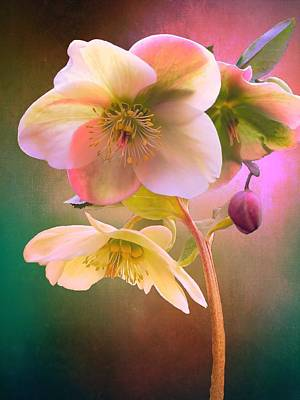 Farm House Style - Ivory Prince Lenten Rose by Christina Ford