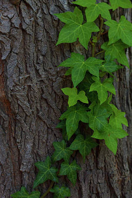 Photograph - Ivy by Nature Photography