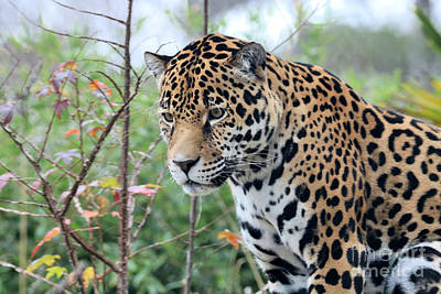 Christmas Christopher And Amanda Elwell - Jaguar by Diann Fisher