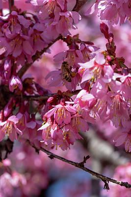 Photograph - Japanese Flowering Cherry 6 by Dawn Cavalieri