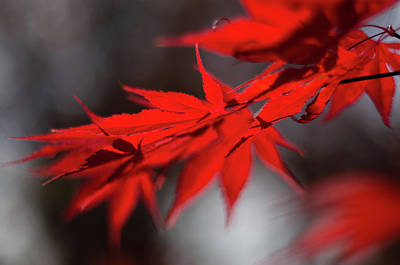Photograph - Japanese Maple by Scott Thomas Images