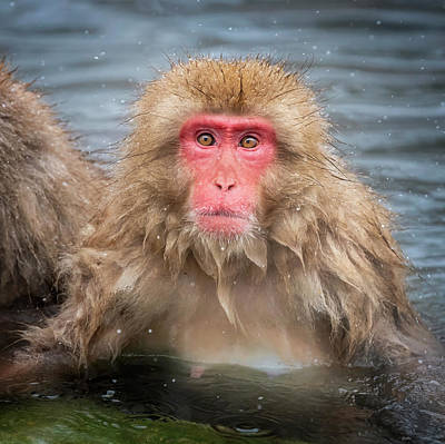 Anne Geddes Collection - Japanese Snow Monkey IV by Joan Carroll