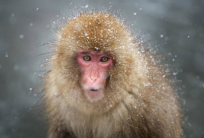 American Milestones - Japanese Snow Monkey by Joan Carroll