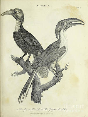 Animals Drawings - Javan Hornbill and the Gingala Hornbill h2 by Historic illustrations