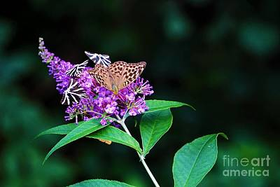 Popstar And Musician Paintings Royalty Free Images - Jersey tiger and Silver-washed fritillary butterflies on Buddleja davidii Royalty-Free Image by Pis Ces