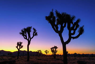 Royalty-Free and Rights-Managed Images - Joshua Tree Silhouettes by Brian Knott Photography