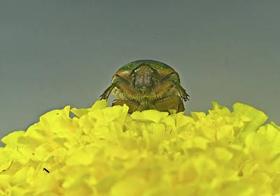 Have A Cupcake - June Beetle Rising Over the Maryigold by Douglas Barnett