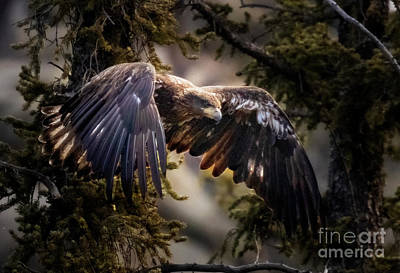 Steven Krull Royalty-Free and Rights-Managed Images - Juvenile Bald Eagle Flying by Steven Krull